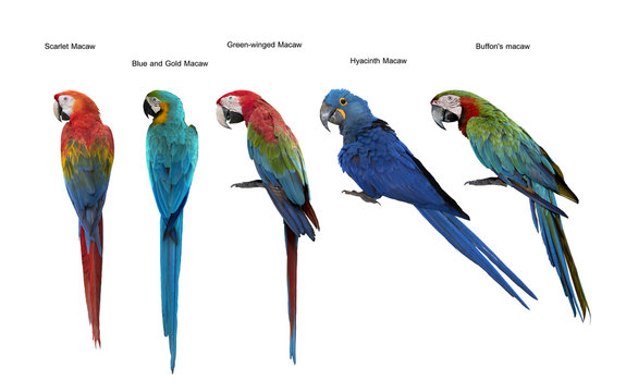 Set of macaw bird,Scarlet Macaw, Blue and Gold Macaw, Green-wing macaw, hyacinth macaw, Buffon's macaw isolate on white background