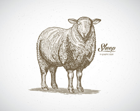 Sheep in graphic style. Illustration drawn by hand on paper and converted to vector.