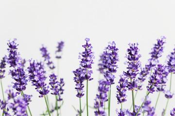 Lavendel (Lavandula), Raum für Text, Studio