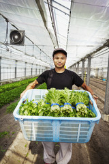 Worker in a greenhouse holding a crate full of fresh harvested vegetables.