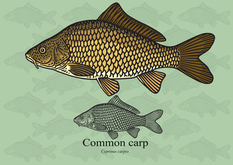 Common Carp. Vector illustration for artwork in small sizes. Suitable for graphic and packaging design, educational examples, web, etc.