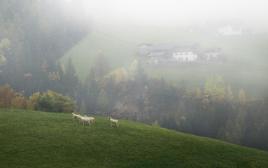 Wall Mural - Sheep flock in alpen village among mountain landscape background.