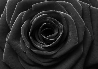 Black rose flower