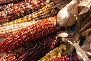 Multi-colored maize corn cobs in bunches