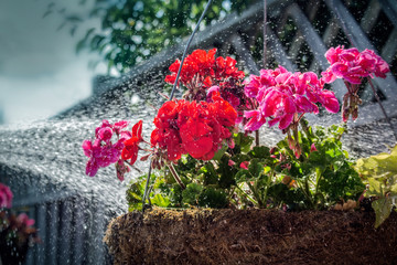 watering a hanging flower basket in summer