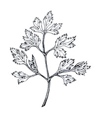 Parsley. Hand drawn black and white illustration on white backgroundŒ.