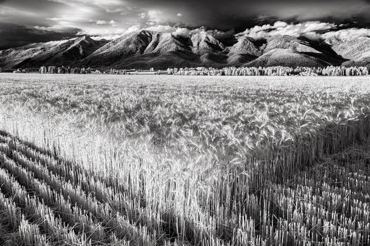Black and White Infrared Montana Wheat Field