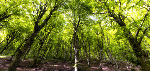Natural beech forest, spring time.
