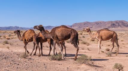 Dromedare in der Wüste; Marokko