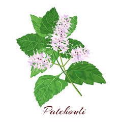 patchouli. blossoming  flowers and leaves. isolated