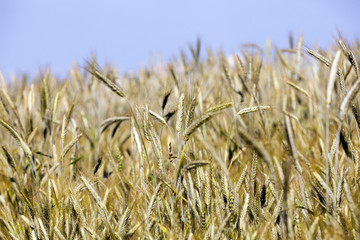 farm field cereals