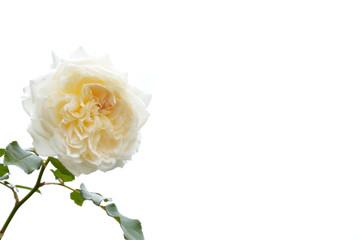 白色と黄色のバラ 白バック