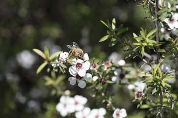 New Zealand Manuka flowers and a bee