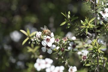 New Zealand Manuka flowers and a bee