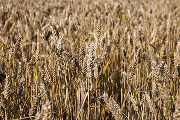ripening cereals in the field