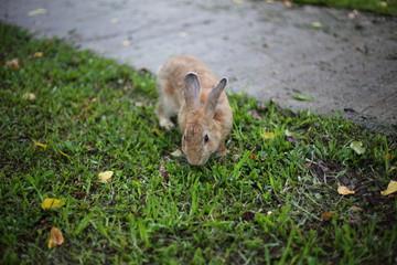 Rabbit on grass in Saraburi at Thailand