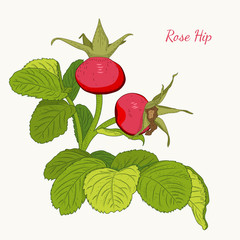 Rose hip wild red berries on branch with green leaves. Dog rose isolated botanical vector design illustration on white background. Healthy antioxidant herb fruit.