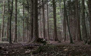 Desaturated tall forest trees
