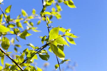 linden leaves, spring