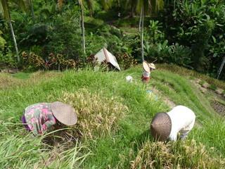 Farmers harvesting rice in rural field, Tegalalang, Bali, Indonesia