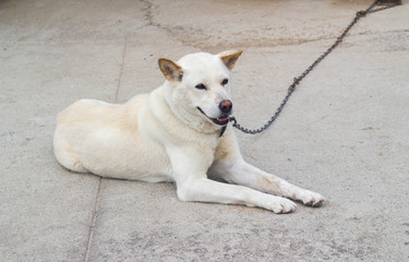 white dog on a chain