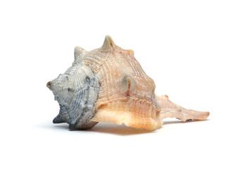 Meeresmuschel Fasciolaria