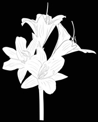 lily with three white blooms sketch