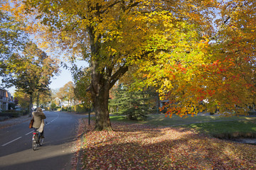 girl on bicycle passes colorfull autumn maple tree in driebergen