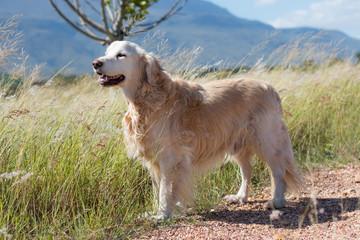 Golden Retriever standing in the wind full length.