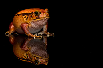 Tomato frog with reflection in glass with black background.