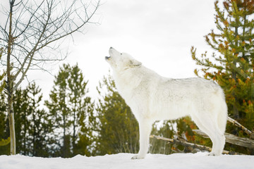 Gray timber wolf (Canis lupus), howling in snow.