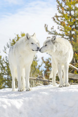 Gray wolf (Canis lupus) male and female in winter