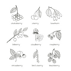 Set of garden and wild hand-drawn sketches berries