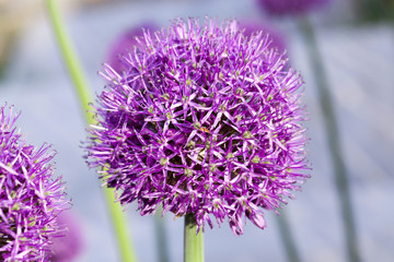 Flower onion, close-up