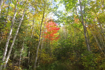 Colorful red birch in early autumn near Quebec, Canada.