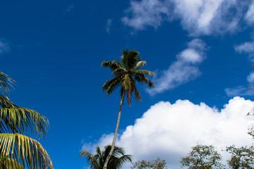 Palme im L'Union Nationalpark Seychellen, La Digue