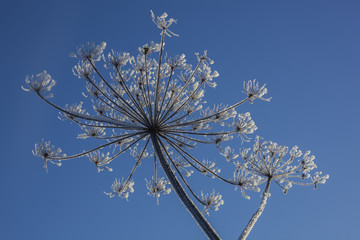 Frosty cow parsnip against a blue sky