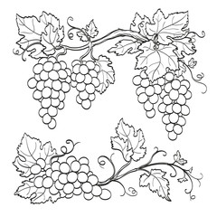 skatch of grape branches