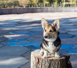 Welsh Corgi sits on the stump.