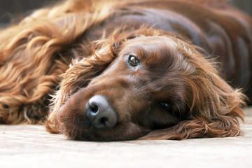 Lazy Irish Setter dog portrait