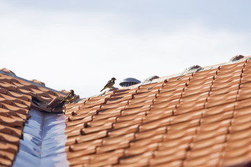 Two sparrows on a roof