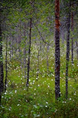 Cottongrass forest
