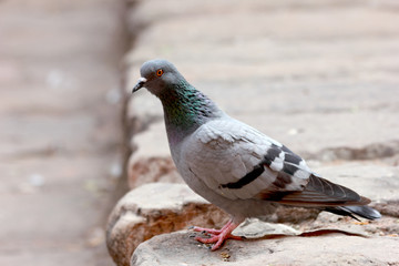 beautiful grey striped pigeon
