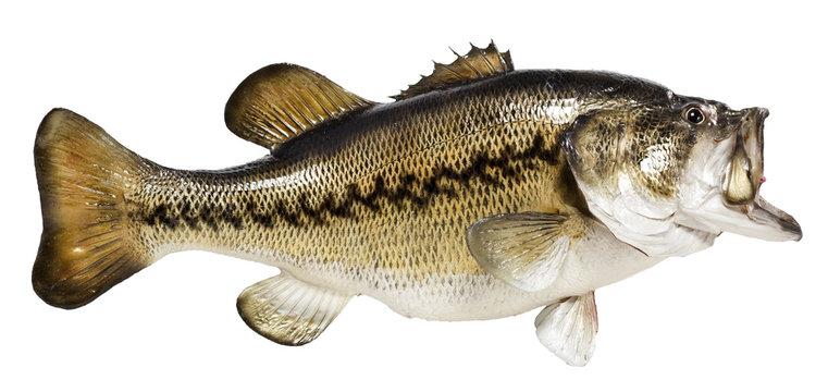 Mounted Largemouth Bass