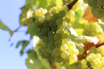Weiße Weintrauben an Reben