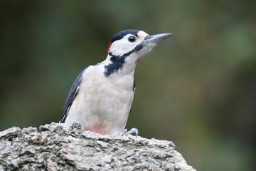 Fotoväggar - Great-spotted woodpecker,  Dendrocopos major