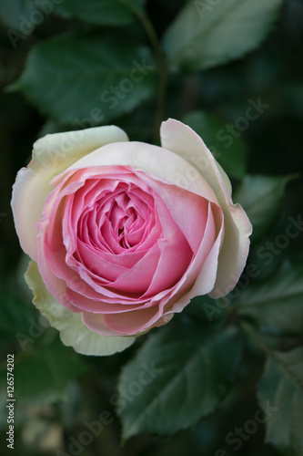 Rosa inglese stock photo and royalty free images on for Rosa in inglese