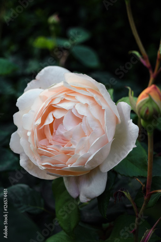 Rosa inglese imagens e fotos de stock royalty free no for Rosa in inglese