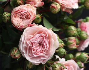 Распустившиеся нежные бутоны английской садовой розы