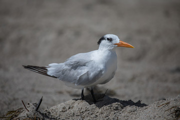 The royal tern (Thalasseus maximus) in it's winter plumage